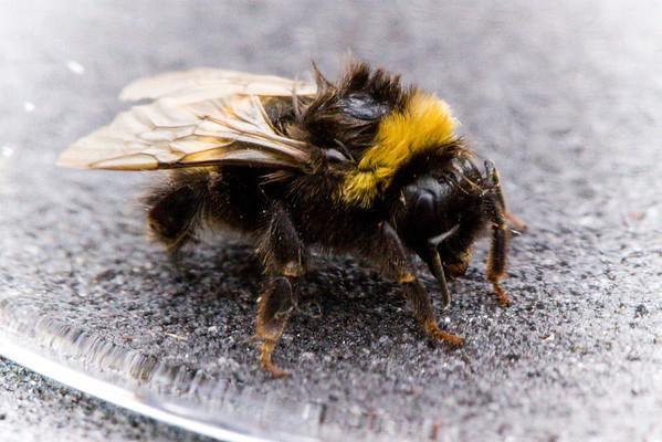 Chewed Bee