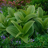 "Wild plants, Mt. Rainier National Park, Washington "" USA """