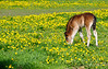 Foal in field surrounded by dandelions