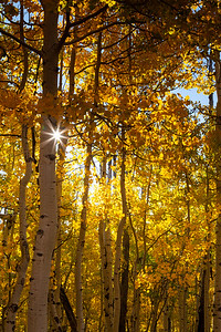 Aspens In The Morning