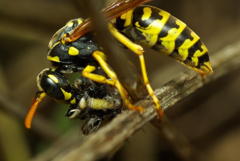 A wasp still eating a spider