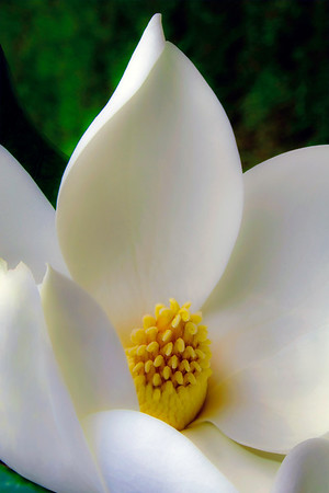 Magnolia Perfection