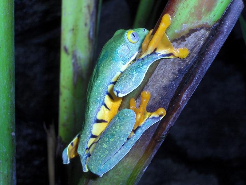 Tre Frog costa