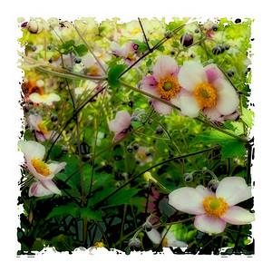 Japanese Anemone (Robustissima)