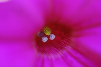 petunia detail