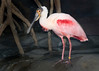 Spoonbill Flamingo<br /> Monterey Bay Aquarium<br /> April 2010