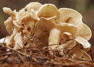 Undetermined Mushroom