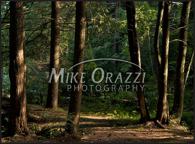 Pine Trees in late afternoon Sun at Burr Pond in Torrington, CT.