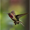 2014_04_Hummingbird_4768