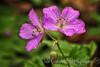 Wild Geranium Wildlfower