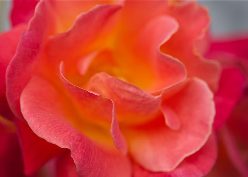 Rose<br /> May 2010