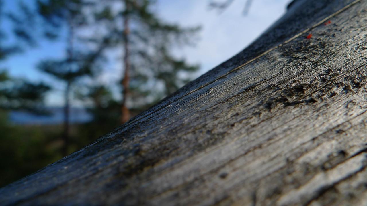 Furugrein (© Ragnar Våga Pedersen)