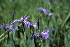 Blue Flag Iris<br /> Seney National Wilflife Refuge<br /> Michigan