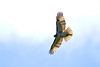 Young Red Tail 2