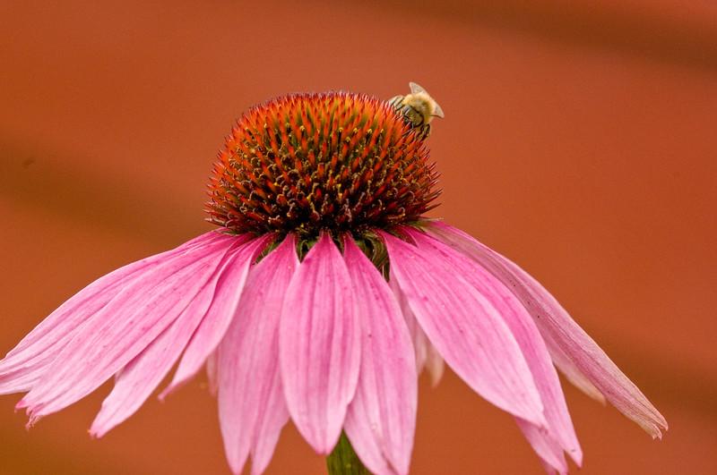 _DSC3749_BeeFlower.jpg