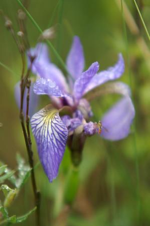 Blue Flag Iris<br /> with a bug