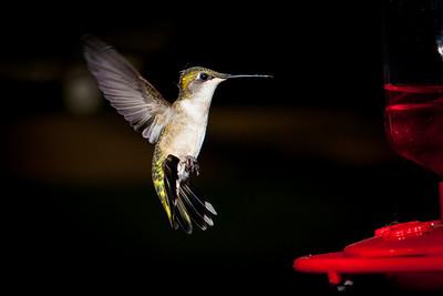 Humming Bird-0924