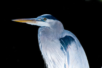 _DSC6599_heron_close_flash