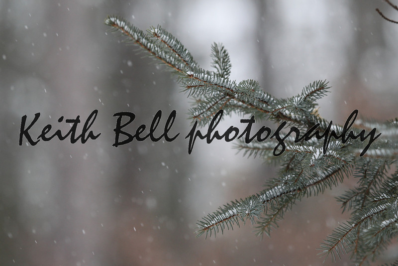 A pine branch in focus with the background and falling snow out of focus.