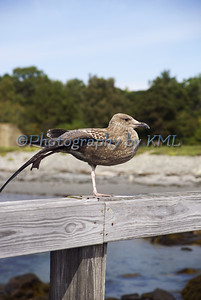 a young seagull stretching on a rail