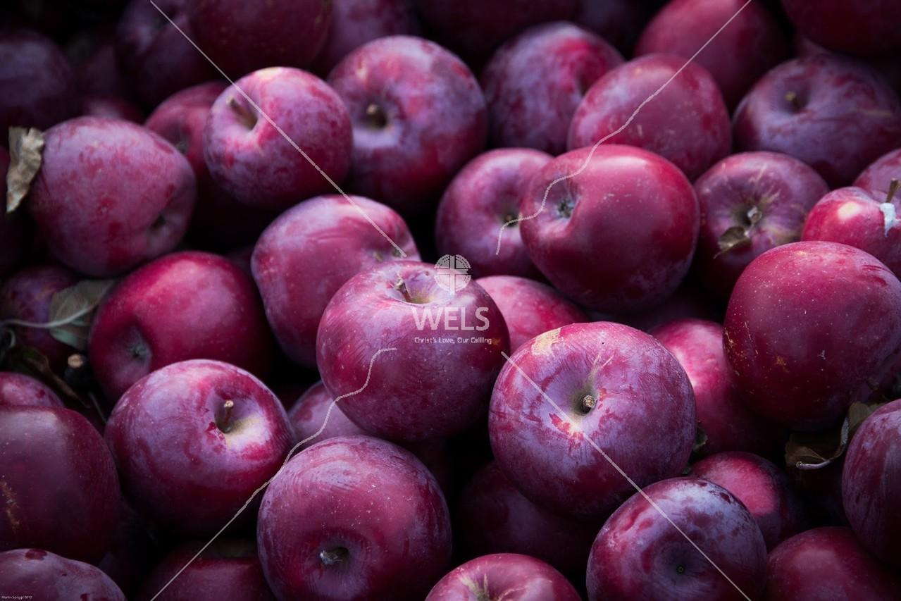 Apple Harvest by mspriggs