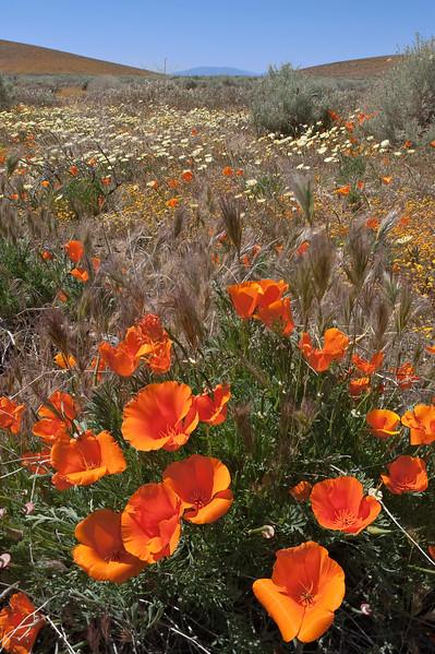 Poppy fields California