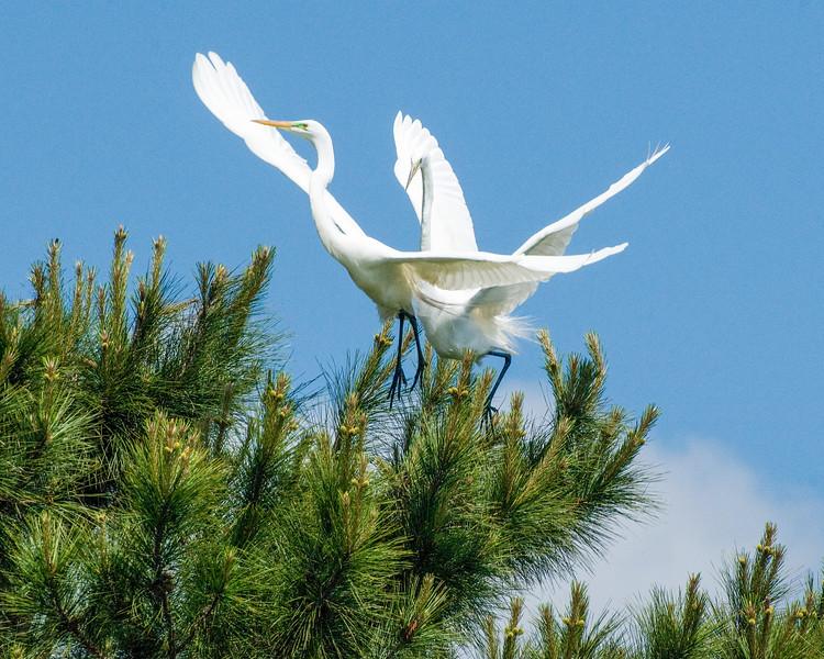 _DSC9770_egrets_2_flight.jpg