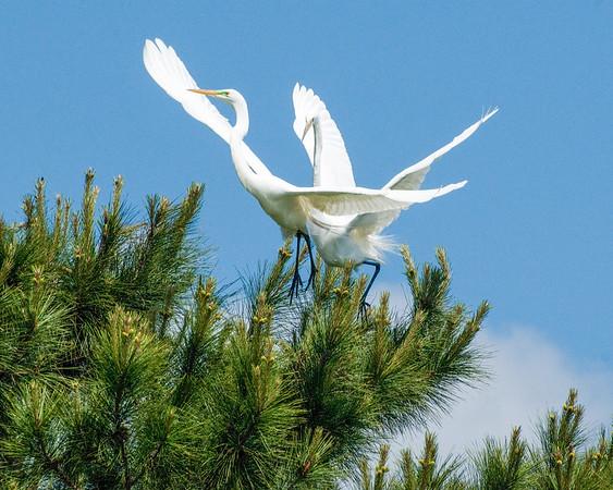 _DSC9770_egrets_2_flight