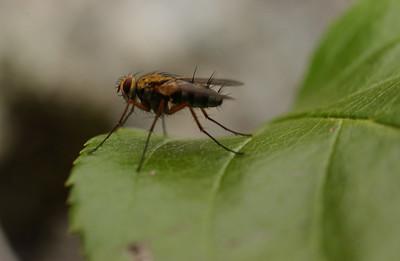 Flue på roseblad