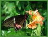 Butterfly1s