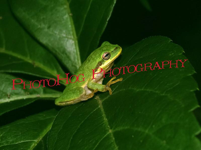 JJ's Frog