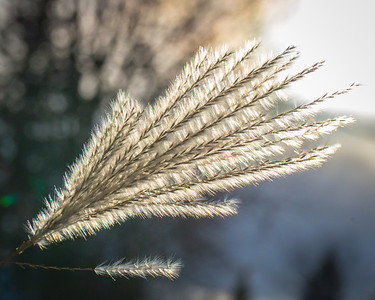 The winter sun lights up tall grasses.