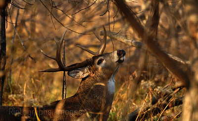 Big Whitetail Buck