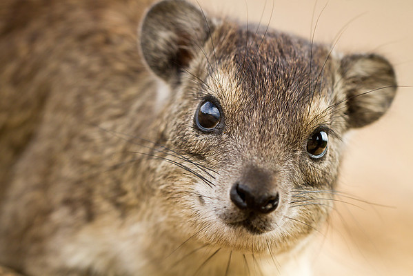 A portrait of a hyrax. In the hotel that we were staying at in the Serengeti, these hyraxes had found a safe refuge from large predators, so they did not fear humans too much and it was possible to get very very close to them.