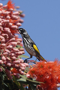 _MCG0054 new holland honey eater