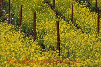 Napa Valley Spring Mustard Bloom