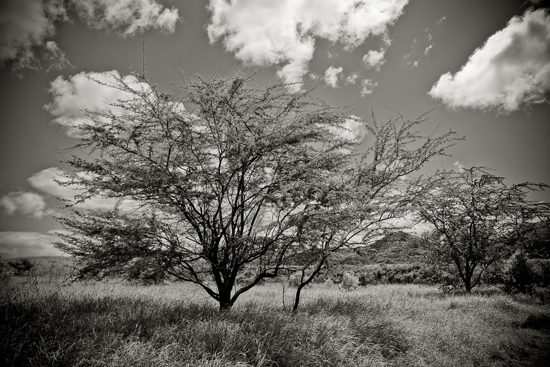"""Treescape - Mono"" - Oahu, Hawaii, USA"