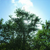 Sun Through Trees 3