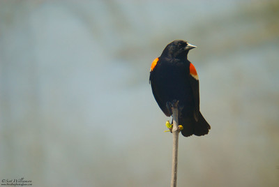 Perched Red Winged Blackbird