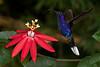 Violet Sabre-wing on Passion Flower