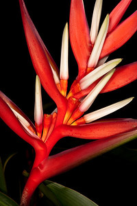Christmas Heliconia (Heliconia angusta) - Heliconia Family (Heliconiaceae)