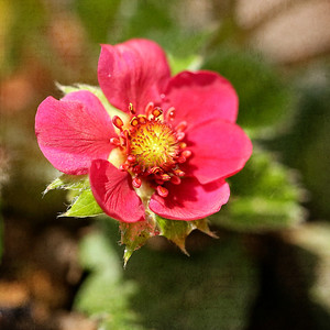 Strawberry bloom