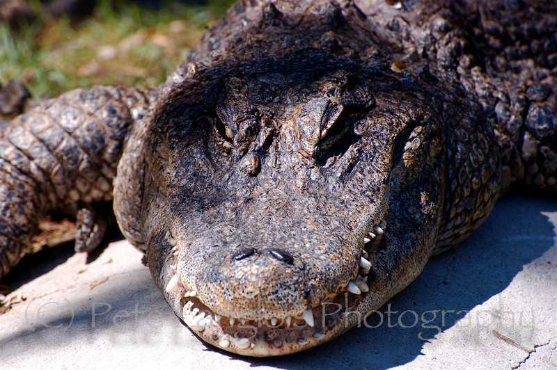 This alligator laying around in the sun looks like he's hungry, taken at York's Wild Animal Kingdom in York, Maine