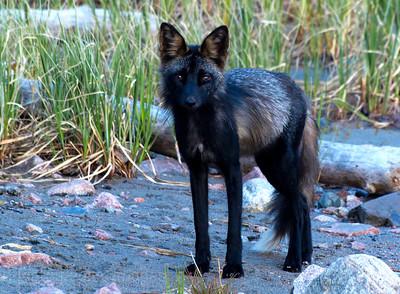 Black Cross-Fox A Wild Dog