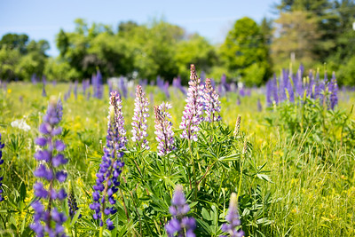 Lupines 13
