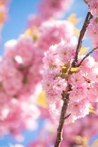 Portsmouth Blossoms