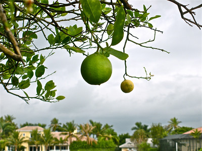 Key Lime tree.
