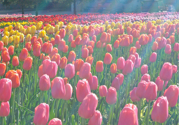 SunKissedTulips_edited-1