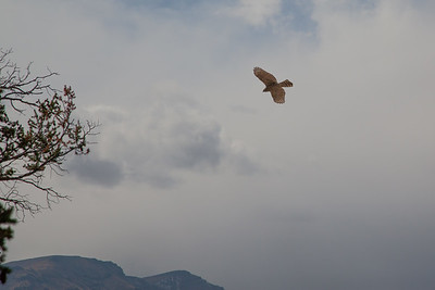 Colorado Hawk In Flight