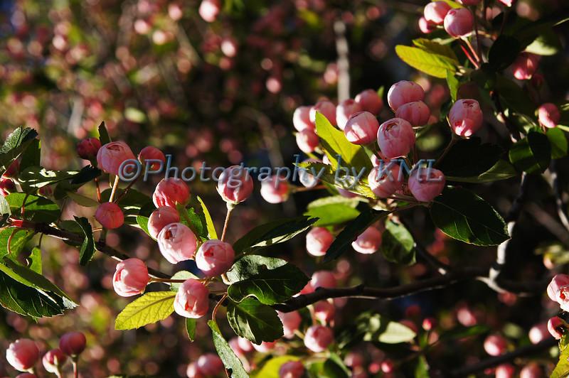 Pink Tree Buds